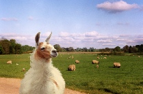 Photos of Lama and Sheep Combined.